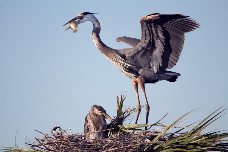 Great Blue Heron feeding chick, Viera Wetlands, Viera, FL
