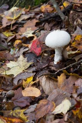White mushroom, fall leaves, Sam's Gap Trail, Appalachian Trail, Mars Hill, NC Trail © Adel Alamo 2015