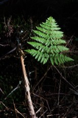 Christmas Tree Fern, Old Mitchell Trail, Mount Mitchell State Park, Pisgah National Forest, Blue Ridge Parkway, NC © Adel Alamo 2015