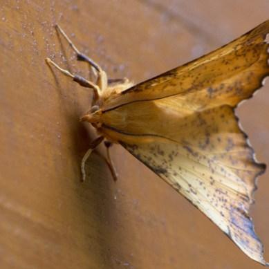 Imperial Moth, Wears Valley, TN