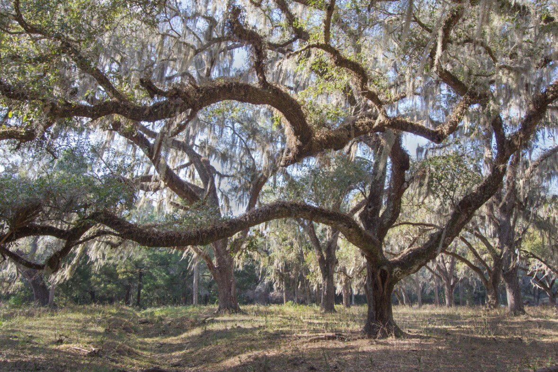 Oak Tree, Leesburg, FL