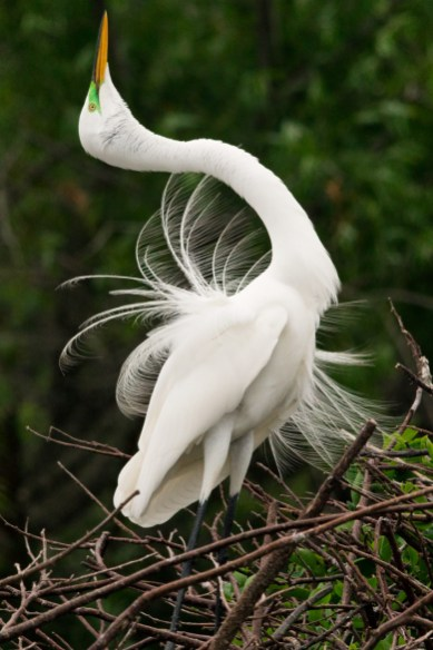 Great Egret Dancing II - Wakodahatchee Wetlands, FL