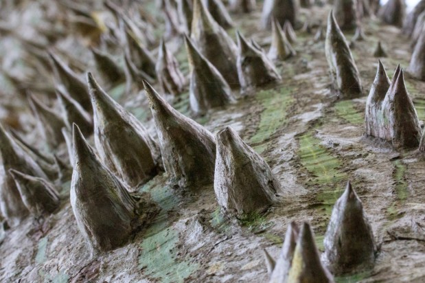 Silk floss tree thorns, Possum Long, Stuart, FL
