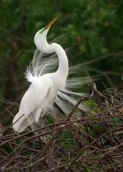 Great Egret Mating Plummage, Wakodahatchee Wetlands, Boynton Beach, FL