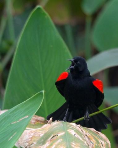 Singing Red-winged Blackbird, Wakodahatchee Wetlands, Boynton Beach, FL