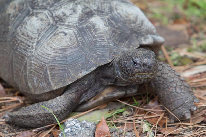 Gopher Tortoise, Busch Wildlife Center, Jupiter, FL
