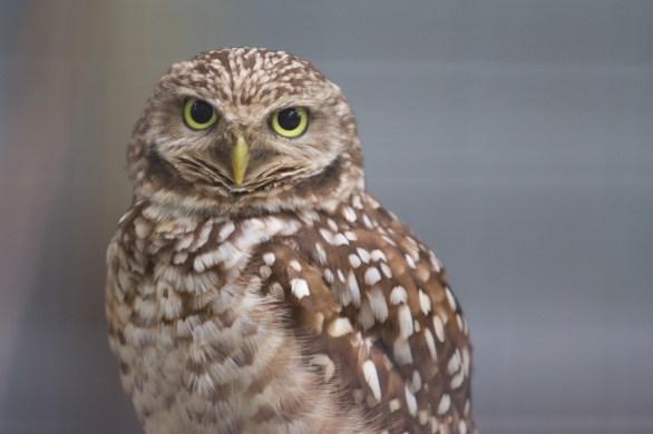 Burrowing Owl, Busch Wildlife Center, Jupiter, FL