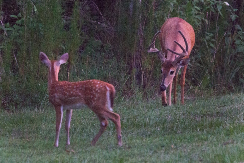 Gentle Approach, Buck and Fawn, Halpatioke Park, Stuart, FL