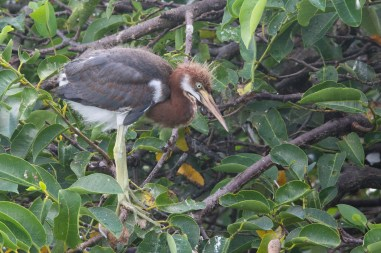 Juvenile Tricolor Heron, Wakodahatchee Wetlands, Boynton Beach, FL