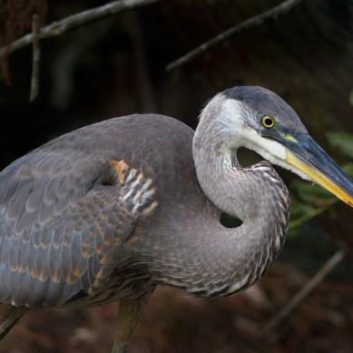 Great Blue Heron, Wakodahatchee Wetlands, Boynton Beach, FL