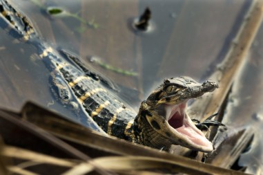 Juvenile Alligator, Wakodahatchee Wetlands, Boynton Beach, FL