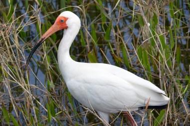 American white ibis, Viera Wetlands, Viera, FL