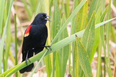Red winged blackbird, Viera Wetlands, Viera, FL