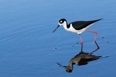 Black-necked stilt, black and white bird with long pink legs, Wakodahatchee Wetlands, Boynton Beach, FL