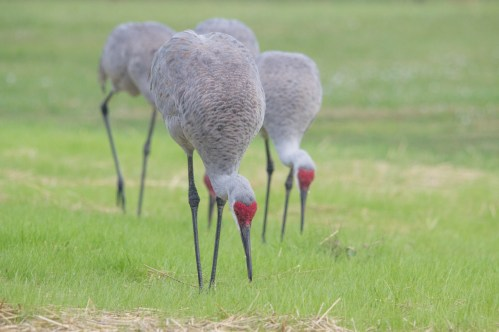 Florida Sandhill Cranes looking for lunch