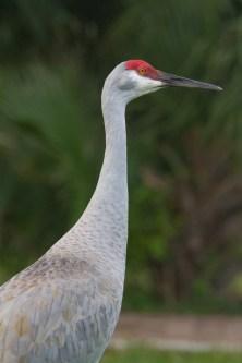 Florida Sandhill Crane Cameo
