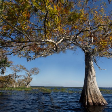 Cypress tree, Blue Cypress Lake, Vero Beach, FL