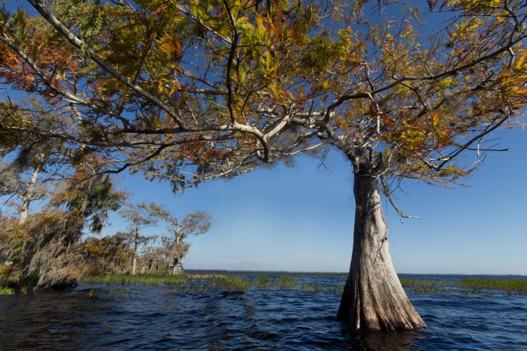 Cypress tree, Blue Cypress Lake, Vero Beach, FL