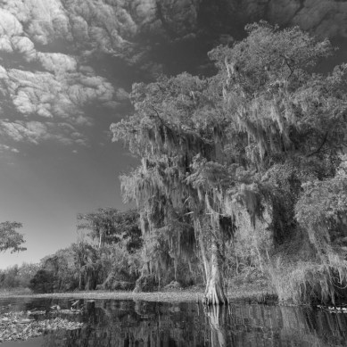 Spanish moss Cypress in Black and White, Blue Cypress Lake, Vero Beach, FL