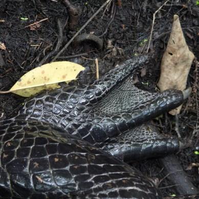 American Alligator foot, Corkscrew Swamp Sanctuary, Naples, FL