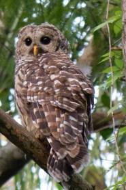 Barred Owl, Riverbend Park, Jupiter, FL