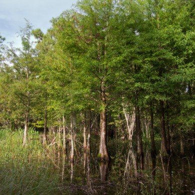 Baby Cypress Trees, Riverbend Park, Jupiter, FL