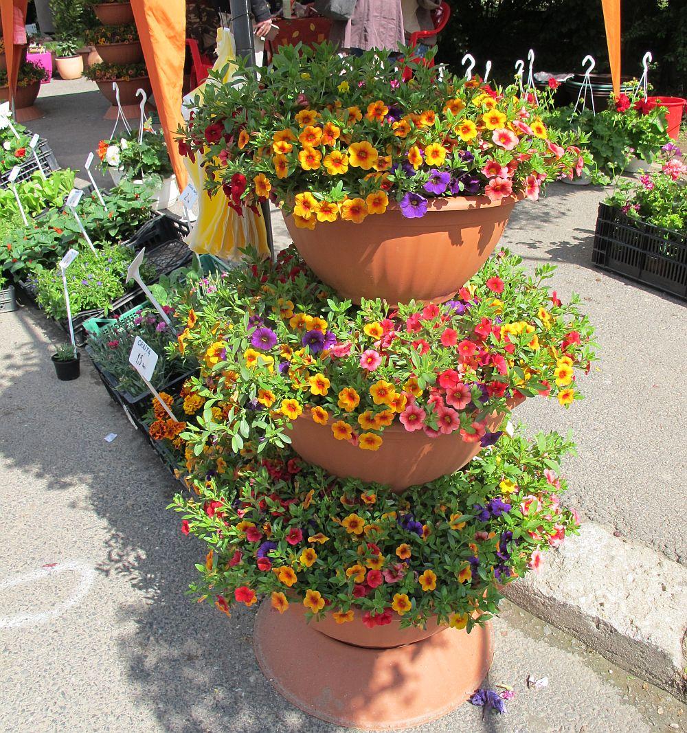 Ghivece cu flori multicolore la pret de 80 lei de la Fabrica de Flori Natura Ploiesti