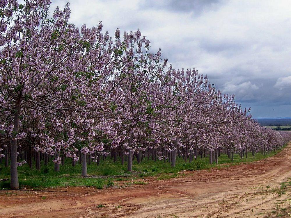 adelaparvu.com despre arborele minune Paulownia, arborele care creste 5 metri pe an, Text Carli Marian (2)