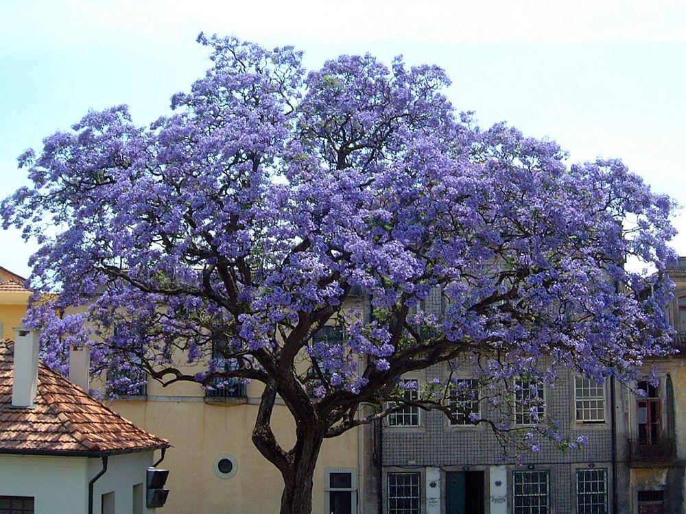 adelaparvu.com despre arborele minune Paulownia, arborele care creste 5 metri pe an, Text Carli Marian (5)