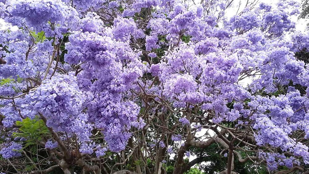 adelaparvu.com despre arborele minune Paulownia, arborele care creste 5 metri pe an, Text Carli Marian (9)