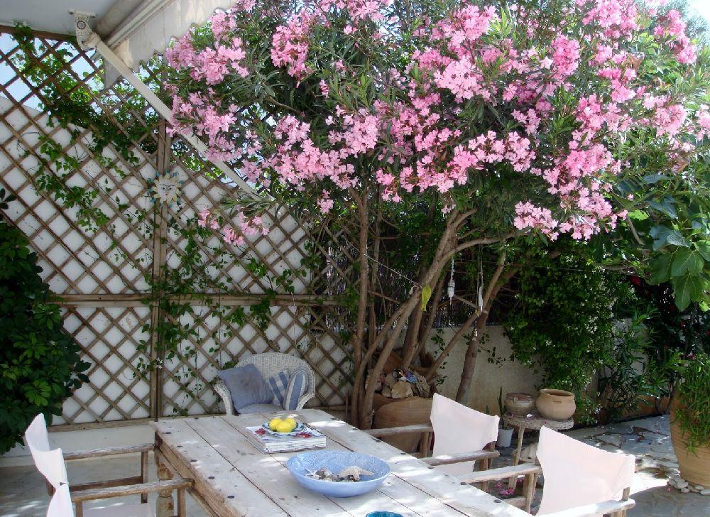 adelaparvu.com despre Nerium Oleander, leandrul potrivit in gradina si pe balcon, Text Carli Marian (10)