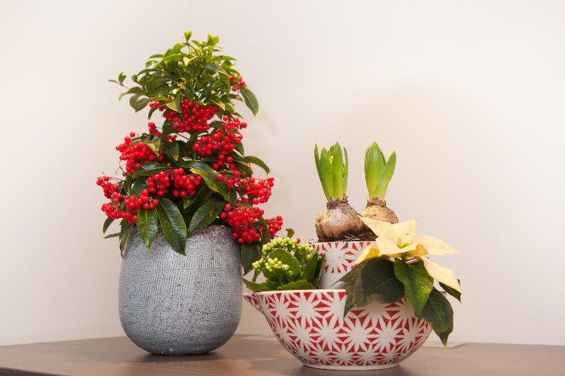 adelaparvu.com despre Ardisia, planta care face fructe de Craciun, Text Carli Marian, Foto Ardisia.com Foto (5)