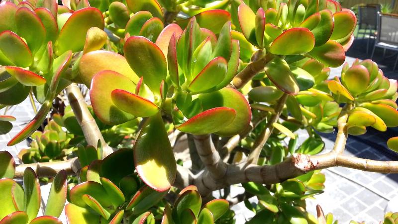 adelaparvu.com despre Crassula ovata, arborele de jad sau planta norocoasa, Text Carli Marian (10)