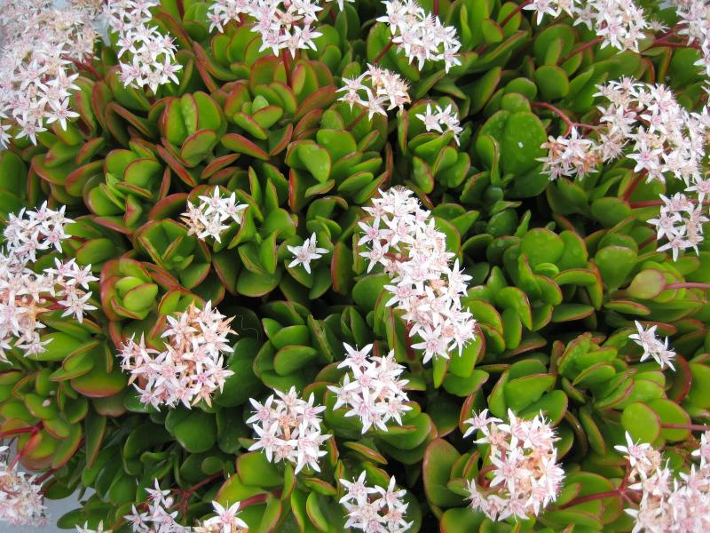 adelaparvu.com despre Crassula ovata, arborele de jad sau planta norocoasa, Text Carli Marian (9)