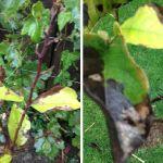 adelaparvu.com despre cloroza la arbori, text Carli Marian (1)