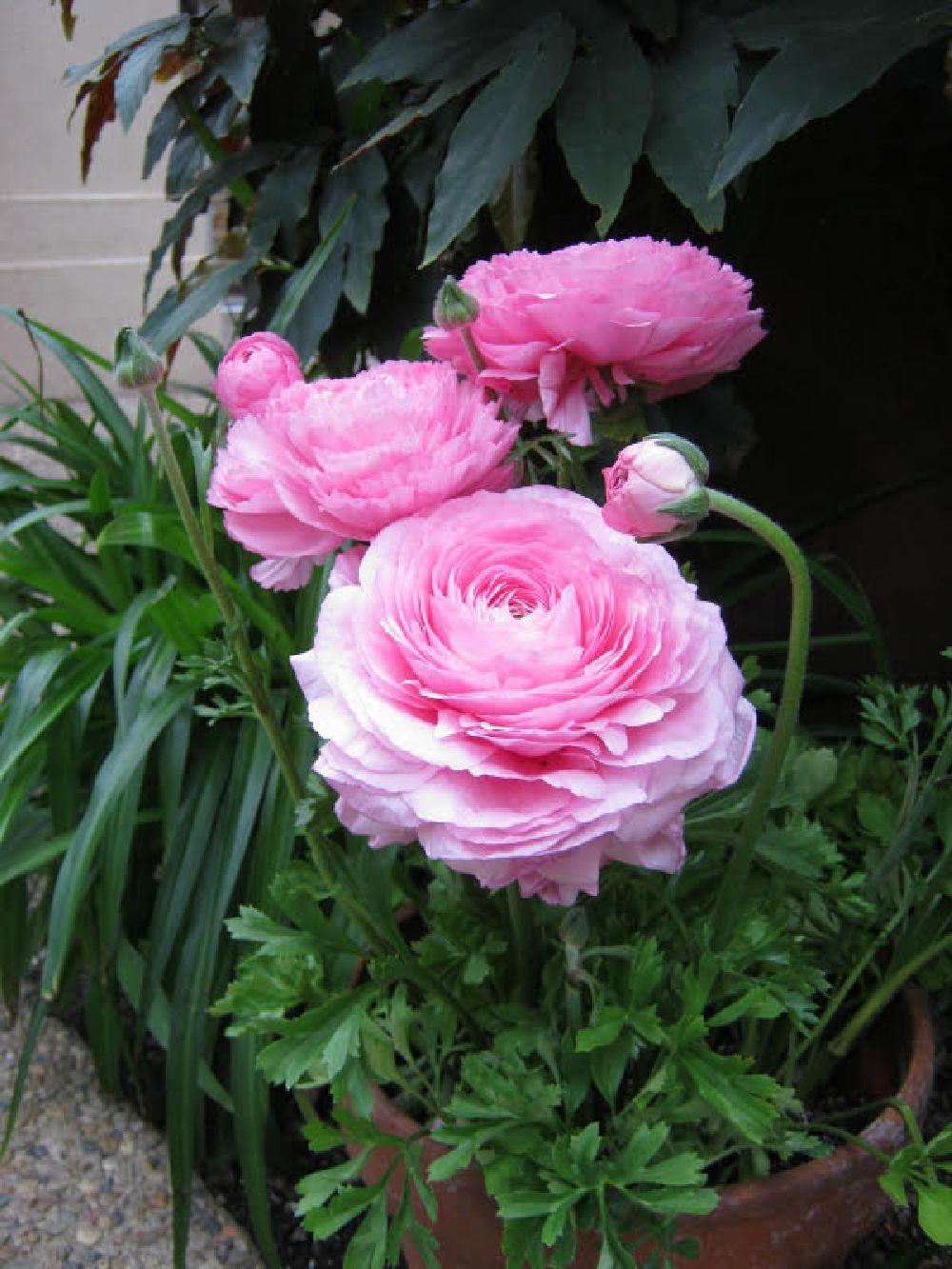 adelaparvu.com despre Ranunculus, Text Carli Marian (4)