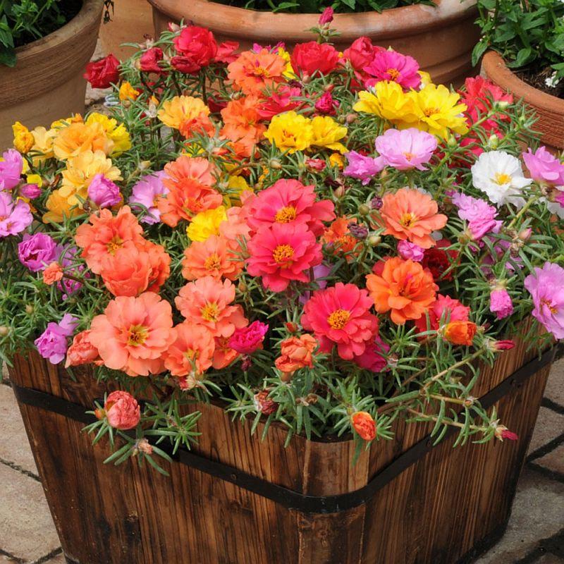 adelaparvu.com despre plante anuale cu flori care se autoinmultesc, Text Carli Marian, in foto Portulaca 4