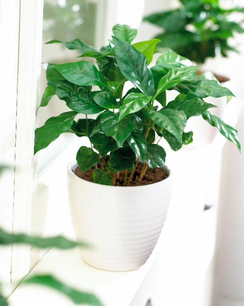 adelaparvu.com despre Coffea arabica, arborele de cafea, Text Carli Marian (9)