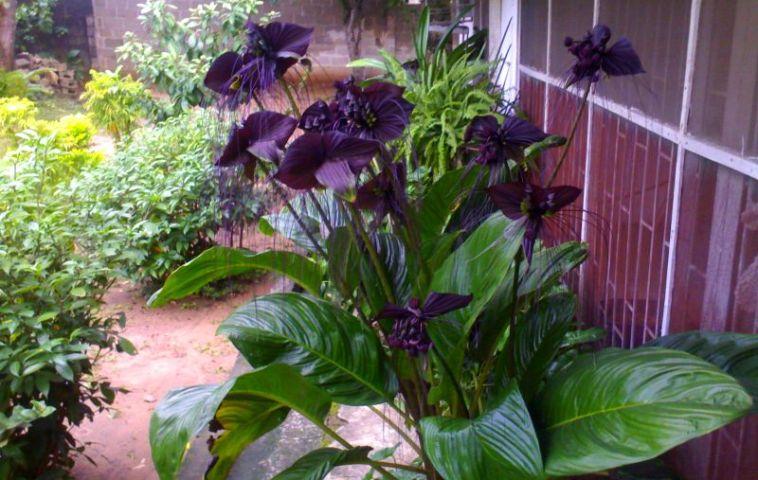 adelaparvu-com-despre-planta-liliac-sau-frumusetea-intunericului-text-carli-marian-4