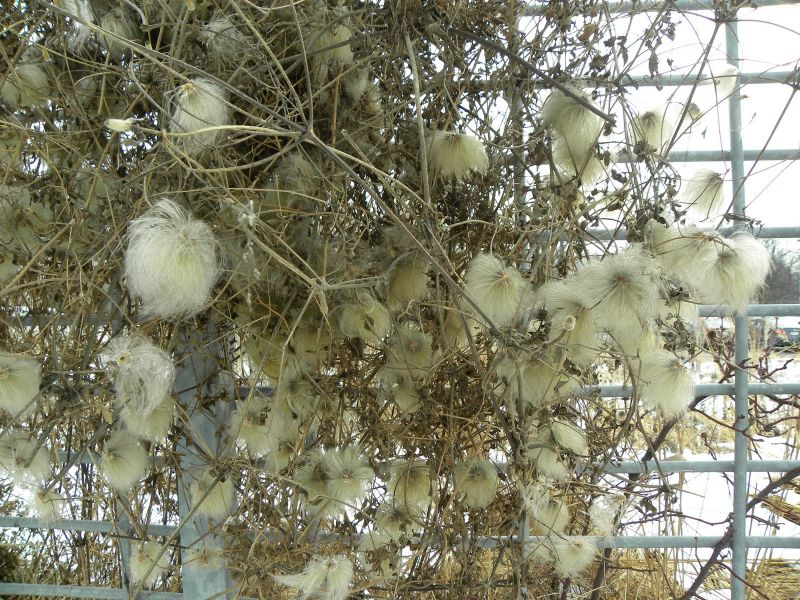adelaparvu-com-despre-plante-care-fac-gradina-frumoasa-toamna-si-iarna-text-carli-marian-in-foto-clematis
