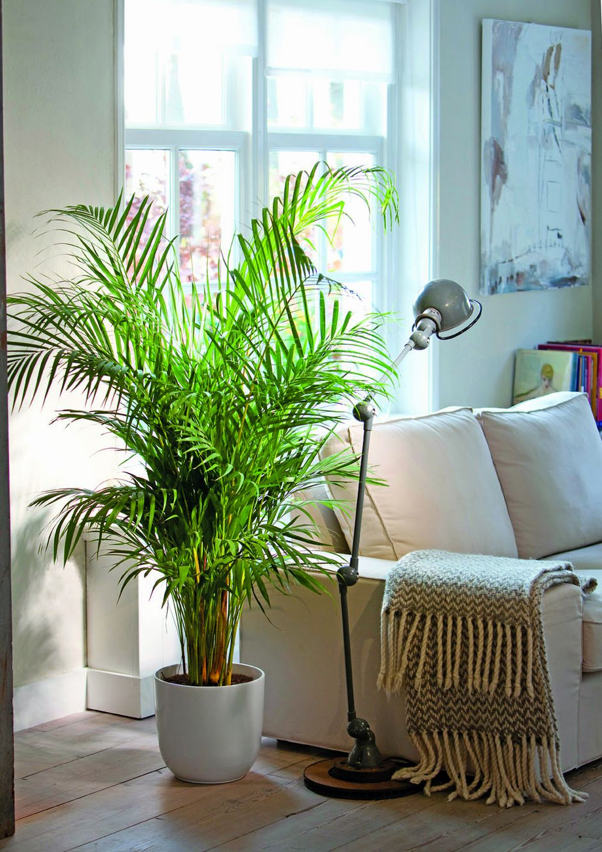 Chrysalidocarpus