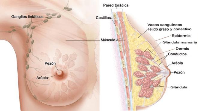 Dermis Epidermis mama