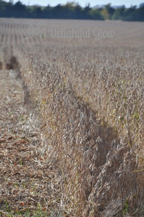 soybean-harvest-2016-3