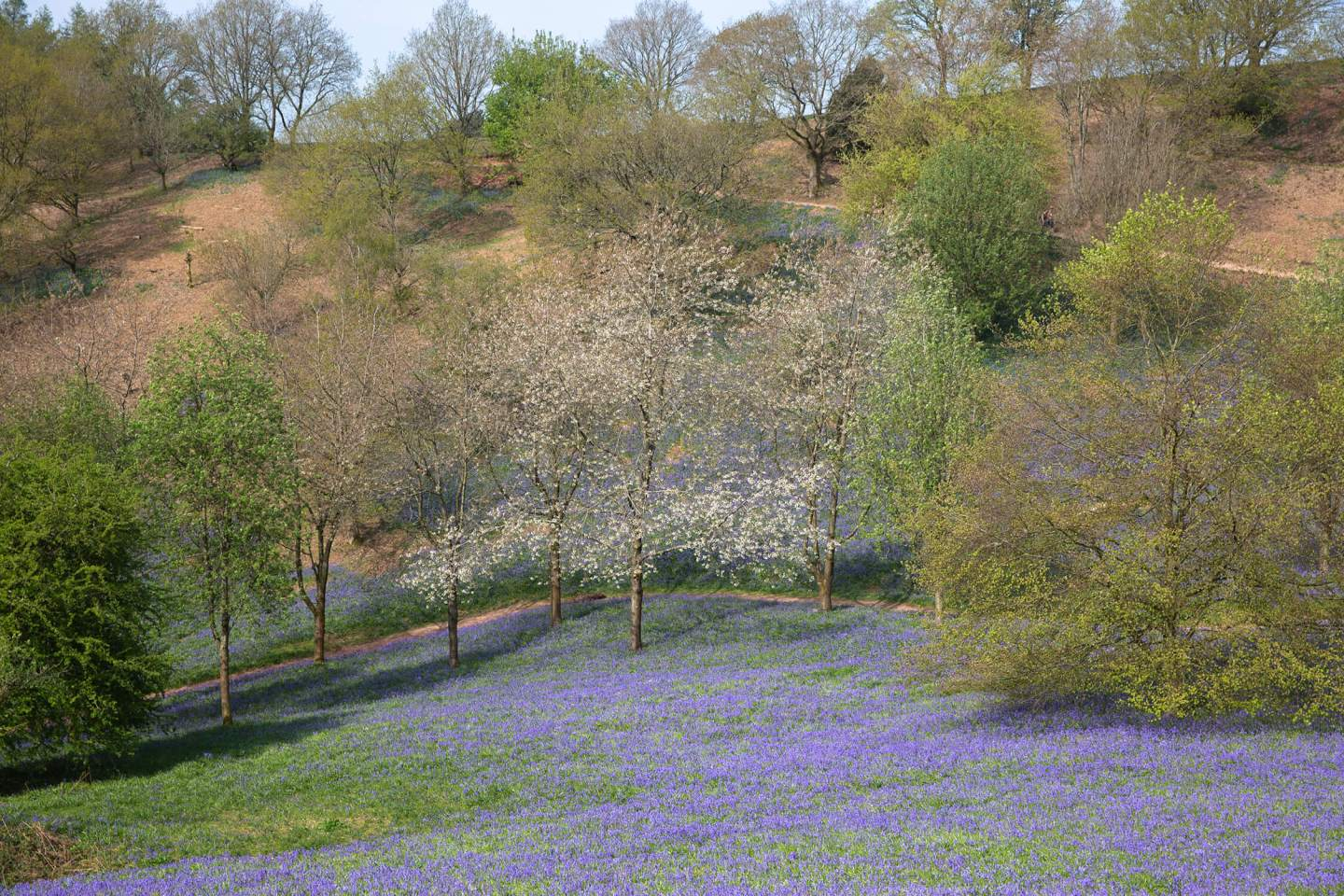 Bluebell-fields-in-the-west-midlands.jpg