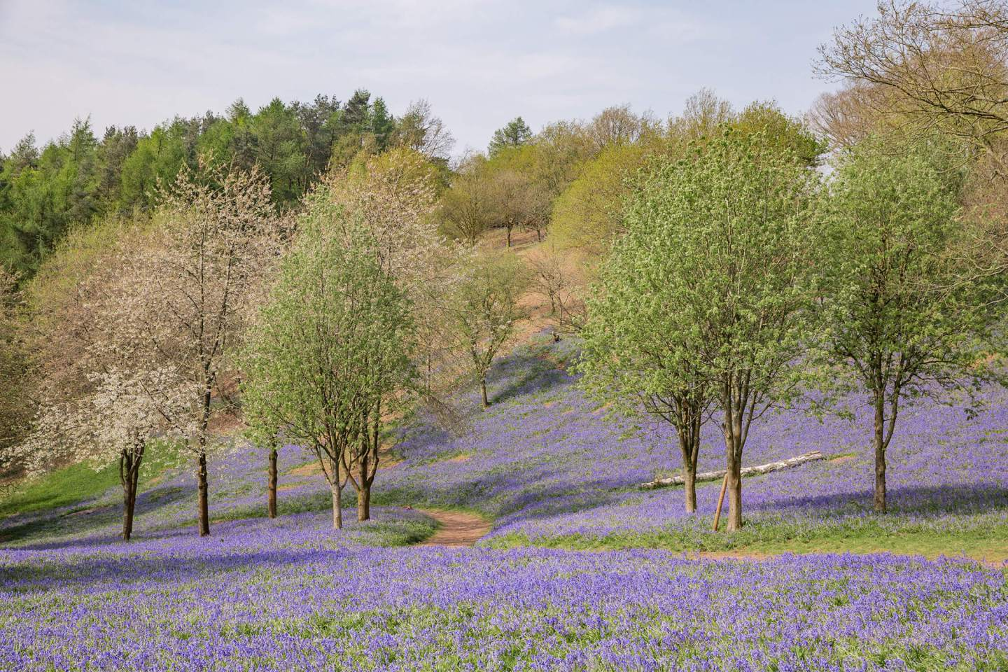 Bluebells-In-The-West-Midlands.jpg