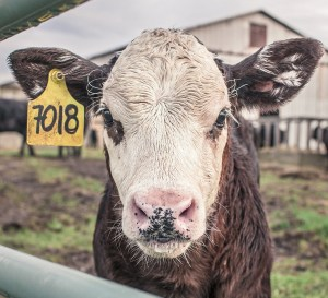 Image of a cute calf in a feedlot, looking at the viewer.