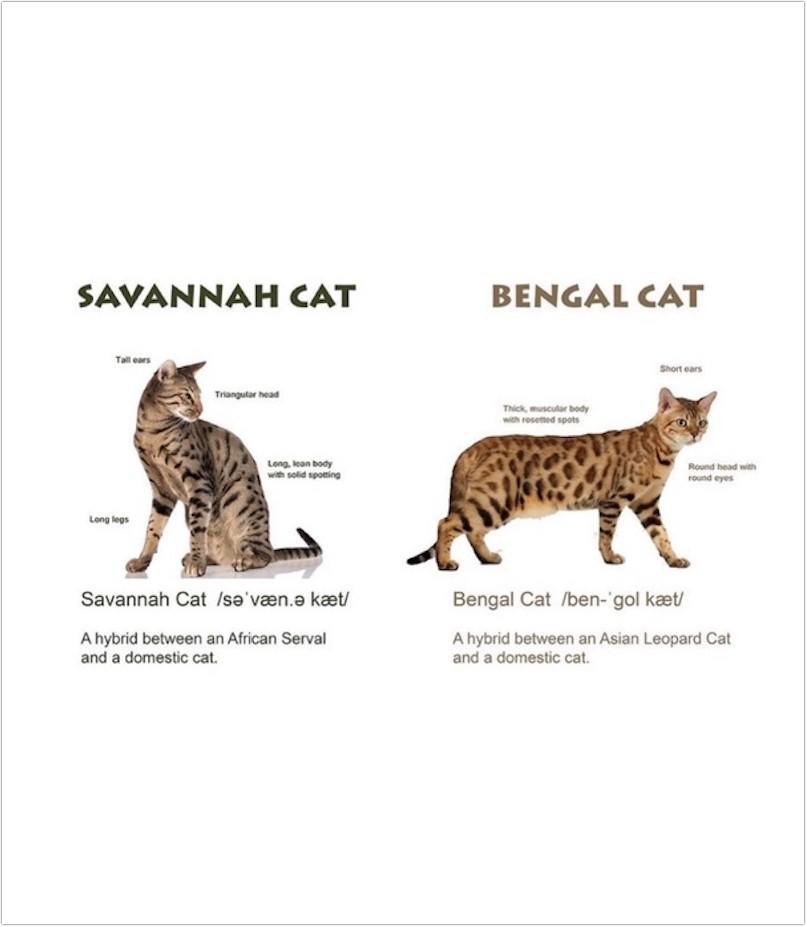 bengal-cat_3
