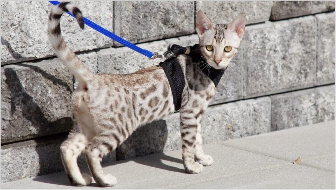 savannah-cat_5