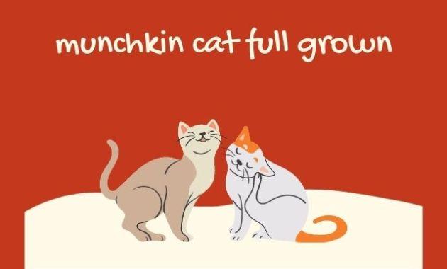munchkin cat full grown