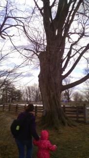 old maple tree